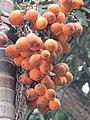Areca catechu - Areca nut at Mayyil (1).jpg