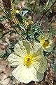Argemone ochroleuca (Family Papaveraceae).jpg