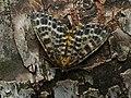 Arichanna melanaria - Пяденица голубичная (41980432680).jpg