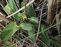 Aristolochia sessilifolia- Rivera, Pajonal al margen de la Cañada del Sauce en la base del Cerro Buena Vista 2.jpg