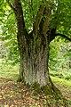 Arnoldov, památný strom Arnoldovská lípa 03.jpg