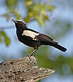 Arnot's Chat (Myrmecocichla arnotti), Hwange National Park, Zimbabwe.jpg