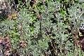 Artemisia abrotanum 4zz.jpg