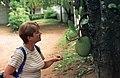 Artocarpus, Sri Lanka 01 (js).jpg