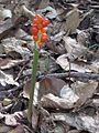 Arum spec. (Araceae sp.), Nijmegen, the Netherlands.jpg