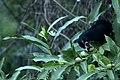 Asian koel (Eudynamys scolopaceus) from Tirunelveli JEG2631.jpg