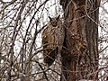 Asio otus L. - Вухата сова - Ушастая сова.jpg