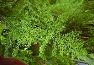 Asparagus setaceus - Image: Asparagus setaceus Leaves 2760px