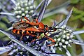 Assassin bug (Rhynocoris iracundus).jpg
