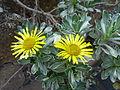 Asteriscus sericeus (January 2012).jpg