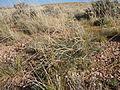 Astragalus gracilis (7273543996).jpg