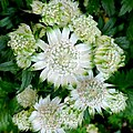 Astrantia major - geograph.org.uk - 1366141.jpg