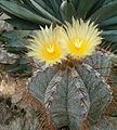 Astrophytum ornatum BotGardBln07122011D.jpg