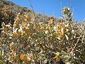 Atriplex confertifolia (5041779203).jpg