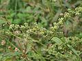 Atriplex patula inflorescence, uitstaande melde bloeiwijze (6).jpg