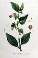 Atropa belladonna — Flora Batava — Volume v11.jpg