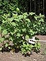 Atropa belladonna 005.jpg