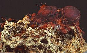 Atta colombica-Königin mit Arbeiterinnen auf Pilz