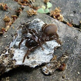 <i>Atypus</i> Genus of spiders
