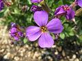 Aubrieta deltoides3.JPG