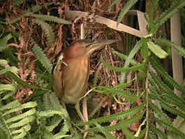Australian Little Bittern Sherwood Nov01.jpg