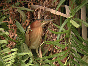 Description de l'image Australian Little Bittern Sherwood Nov01.jpg.