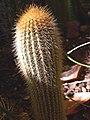 Austrocephalocereus albicephalus.jpg