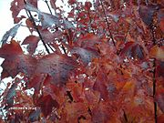 Autumn Blaze Maple Foliage.jpg