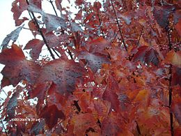 Autumn Blaze Maple Foliage