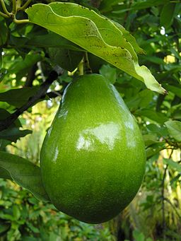 Avacado on tree (closeup)
