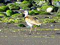 Aves en Punta Pelluco 4.JPG