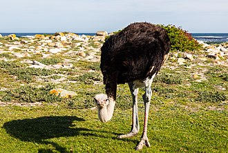South African ostrich - Male