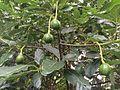 Avocados-luis-figueroa.jpg