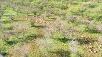 File:Axis Deer Herd - Maui.webm