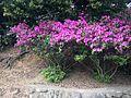 Azalea in Sacred Garden of Umi Hachiman Shrine.JPG