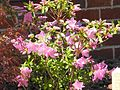 Azalea in courtyard at Calcutta Health Care Center Calcutta, Ohio.jpg