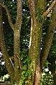 Búcaro (Erythrina fusca) (14407562034).jpg