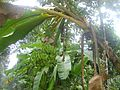 Banana on a banana tree.jpg