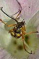 Banded Longhorn (Typocerus velutinus) in Bindweed (Calystegia sp.) Flower - London, Ontario 02.jpg