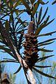 Banksia plagiocarpa oldspike.jpg