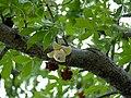 Baobab (Adansonia digitata) flower bud (11887826404).jpg