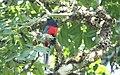 Bar-tailed Trogon (Apaloderma vittatum) (45634509165).jpg