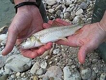 Barbus plebejus Conca river.jpg