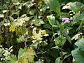 Barleria montana (4159019247).jpg