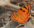 Baronet (Euthalia nais) in Kinnarsani WS, AP W IMG 5761.jpg