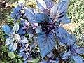 Basilic pourpre - Ocimum basilicum purpurascens.jpg