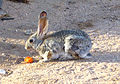 Battle Scarred Cottontail.jpg