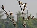 Baya Weaver (Ploceus philippinus) W IMG 4893.jpg