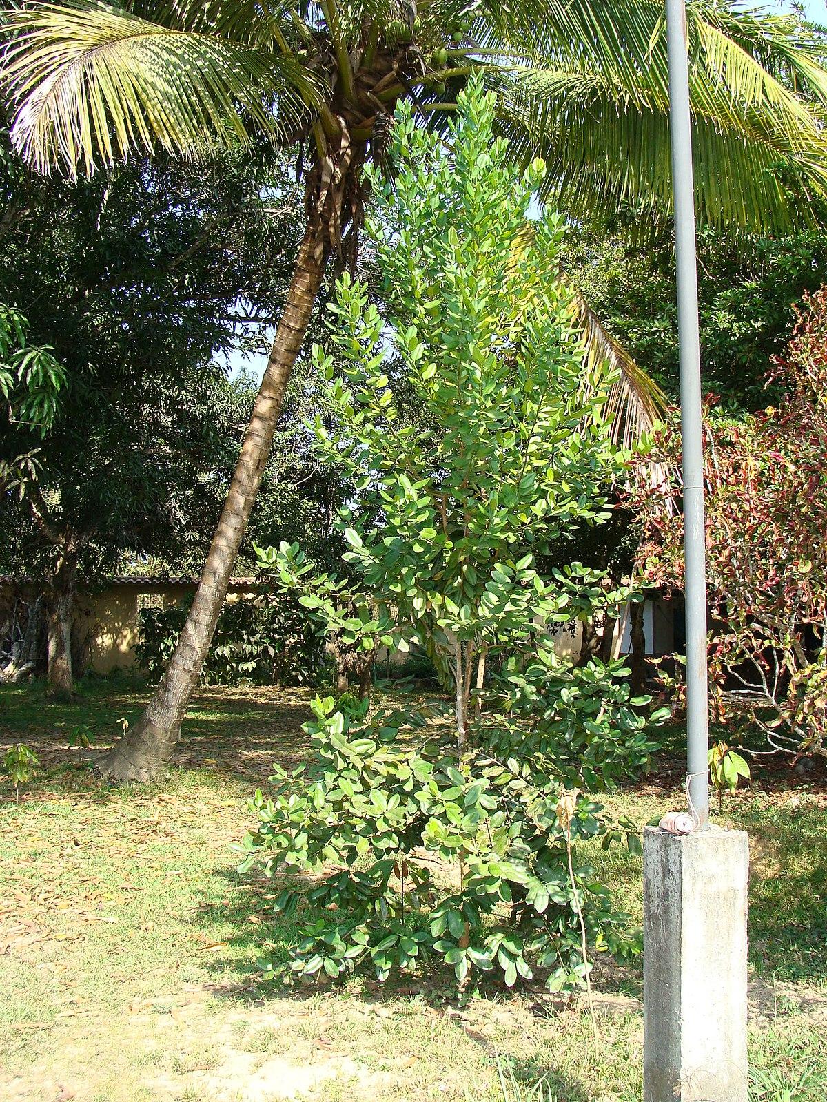 Pimenta racemosa wikipedia la enciclopedia libre for Arboles para cierre de jardin