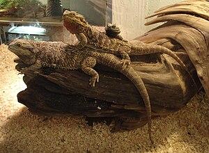 Bearded dragons.